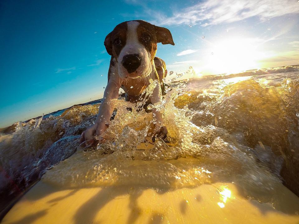 Собакен очень уверенно сёрфит на доске. Будь как собакен =)